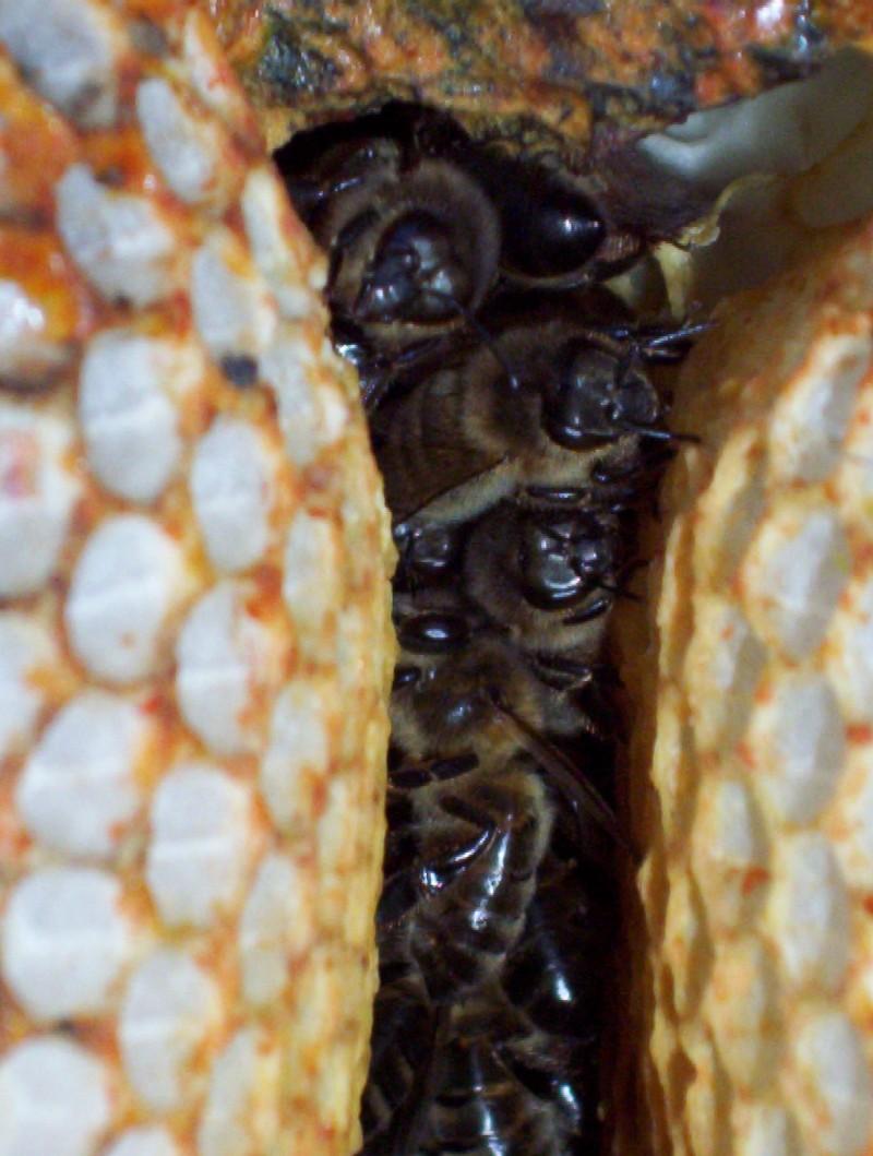 chaleur dans la ruche.....on se serre pour se tenir chaud